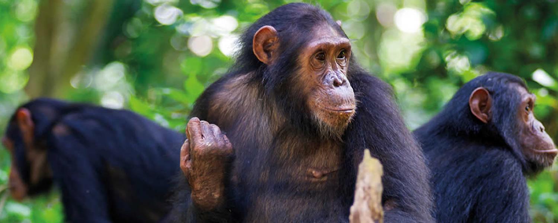 Where to see chimpanzees in Uganda
