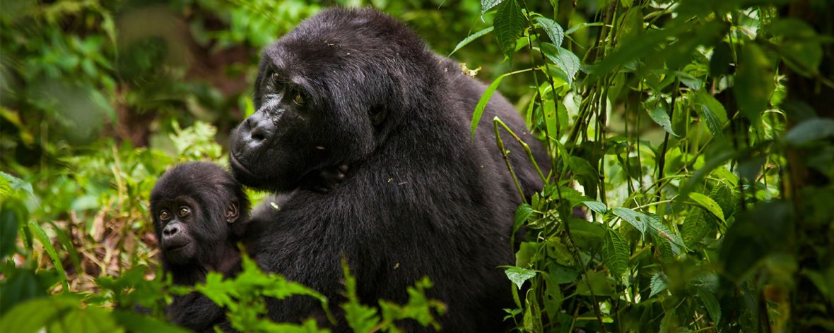 Visit Rwanda |Why safari in Rwanda |Gorilla Tours Rwanda