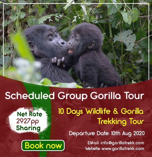 Murchison Falls NP, Kibale Forest NP, chimpanzee tracking, Lake Bunyonyi, Queen Elizabeth National park, Bwindi Impenetrable Forest NP, gorilla tracking, tree climbing lions