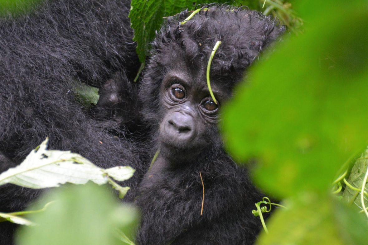 How To Habituate Mountain Gorillas
