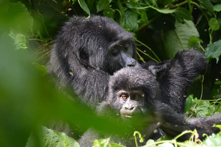 How To Spend More Time With Mountain Gorillas In Uganda?