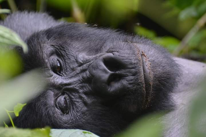 Mountain Gorillas Photography Tips In Uganda And Rwanda