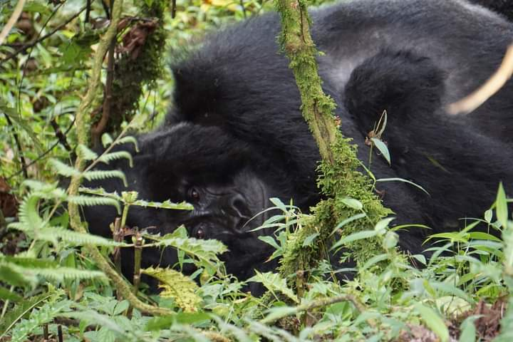 How Many Mountain Gorillas Are Left In Africa