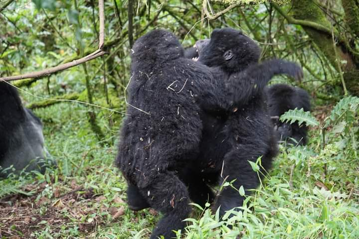 How To See Mountain Gorillas In Their Natural Habitat