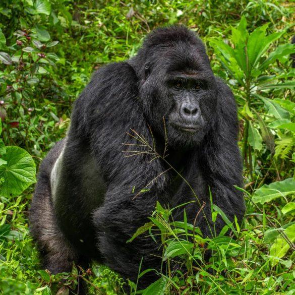 Gorilla Trekking Briefing In Bwindi Impenetrable Forest National Park Uganda