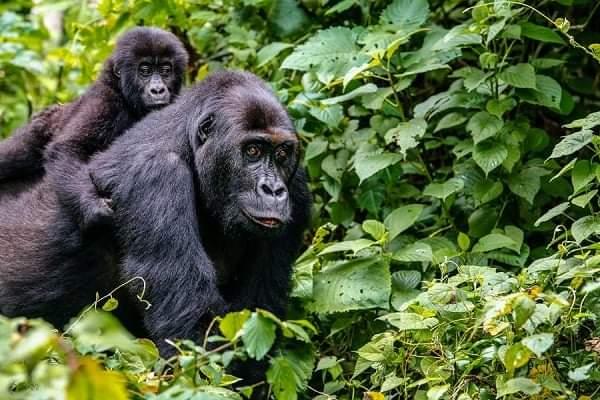 3 Days Bwindi Double Gorilla Trek From Kigali